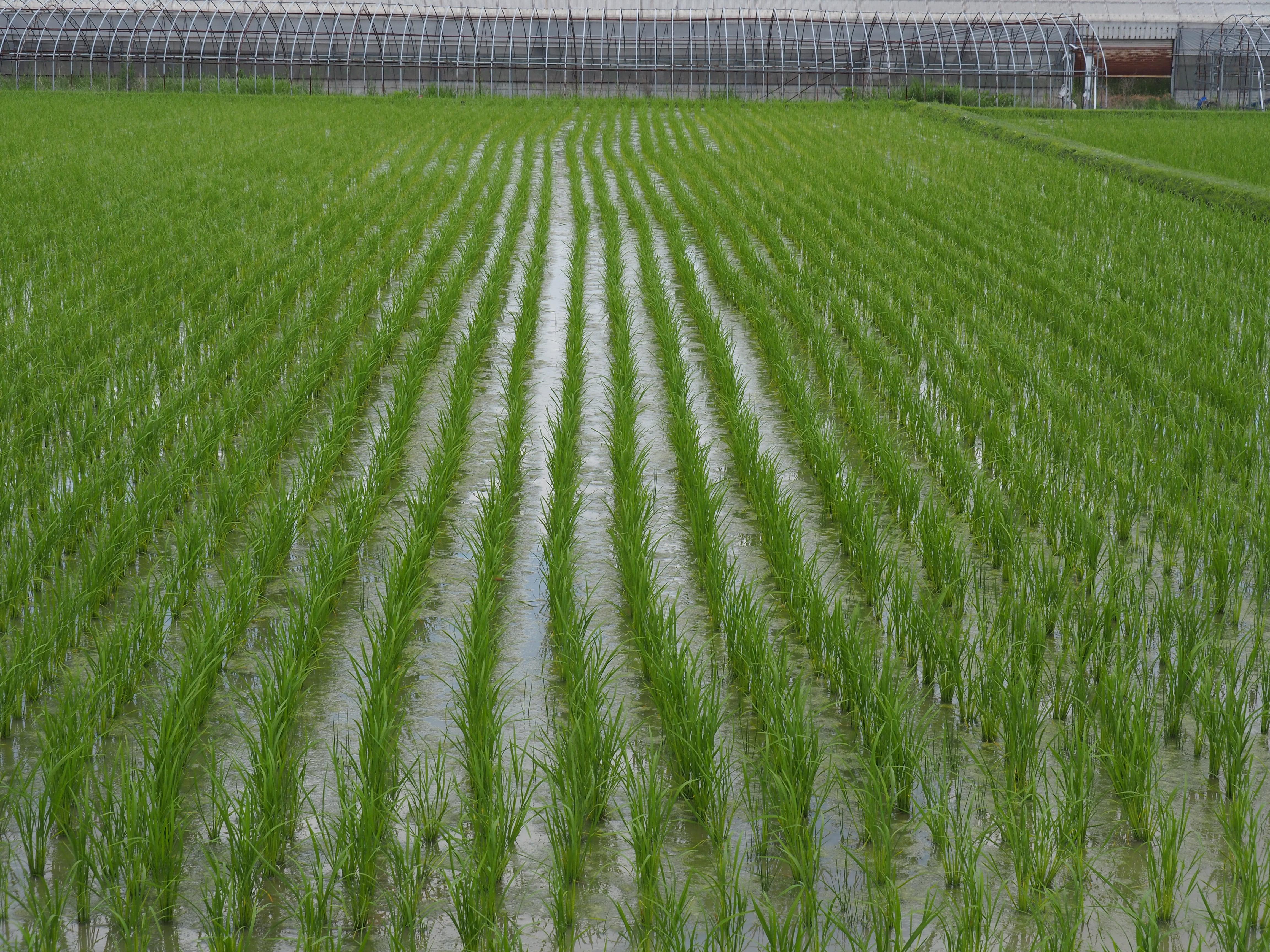 一般米(田植え後約一ヶ月)